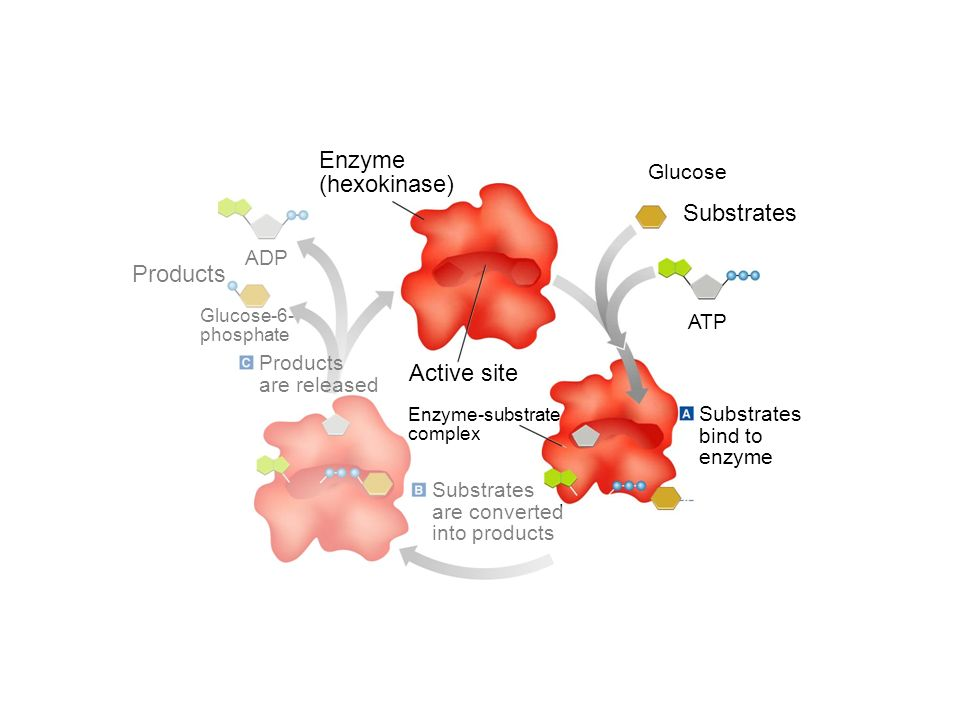 Glucose Substrates ATP Substrates bind to enzyme Substrates are converted into products Enzyme-substrate complex Enzyme (hexokinase) ADP Products Glucose-6- phosphate Products are released Section 2-4 Go to Section: Active site