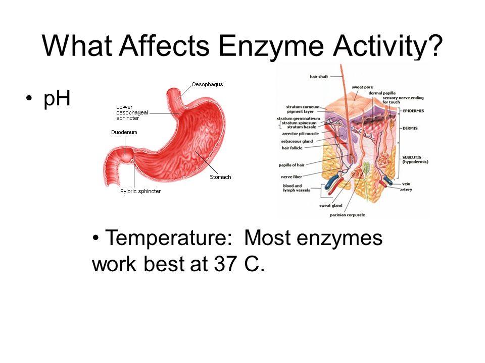 What Affects Enzyme Activity pH Temperature: Most enzymes work best at 37 C.