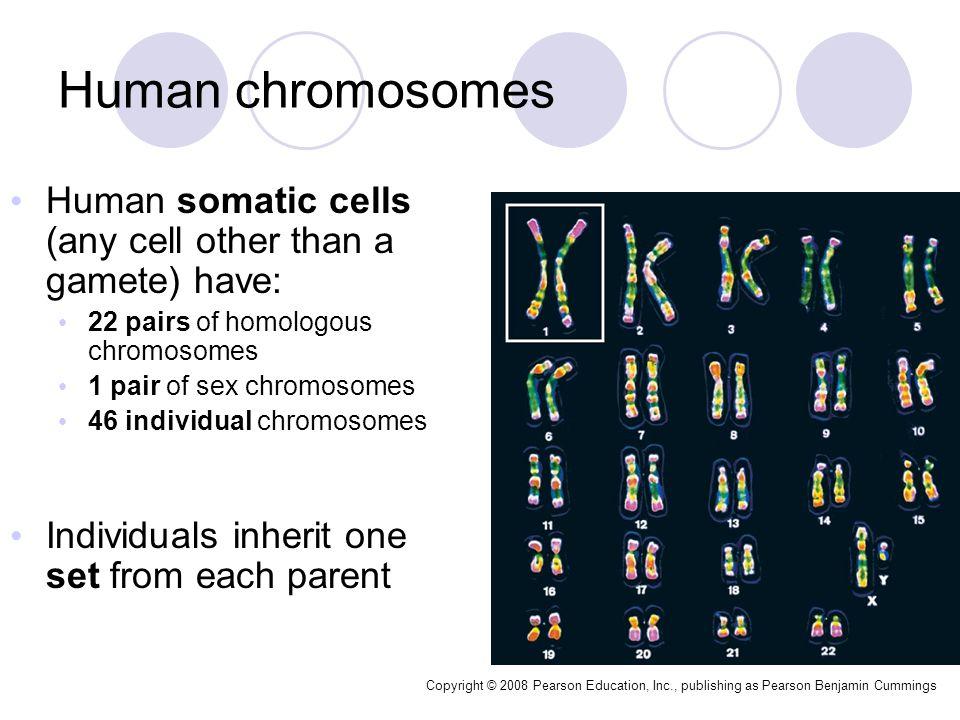 Are sex chromosomes like the other homologous chromosomes