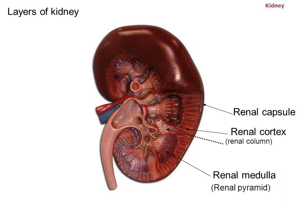 Layers Of Kidney Renal Capsule Renal Cortex Renal Medulla Renal