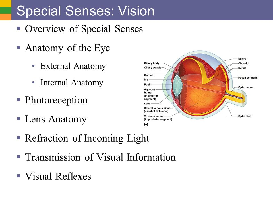 Special Senses: Vision  Overview of Special Senses  Anatomy of ...