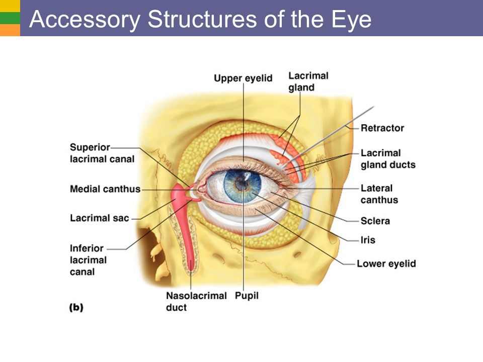 Special senses vision overview of special senses anatomy of 3 accessory structures of the eye ccuart Gallery
