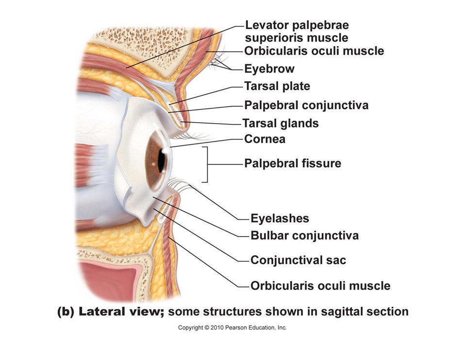 Special Senses Vision Overview Of Special Senses Anatomy Of