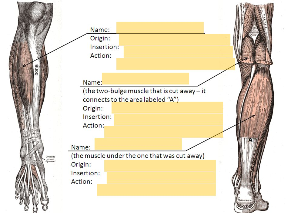 Quiz 4 Practice – Muscles of the lower arm and lower leg. Word Banks ...