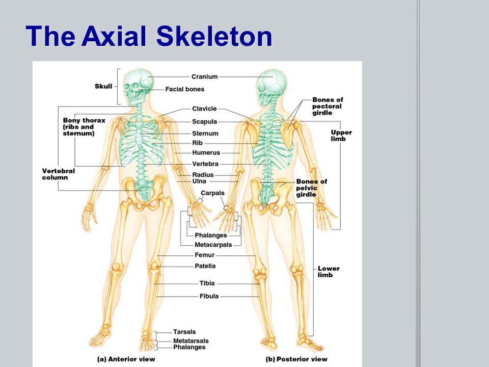 Chapter 5 The Skeletal System Provides An Internal Framework For The