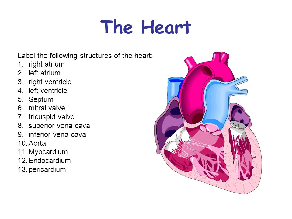 Objectives Explain The Structure Of The Heart Analyze The