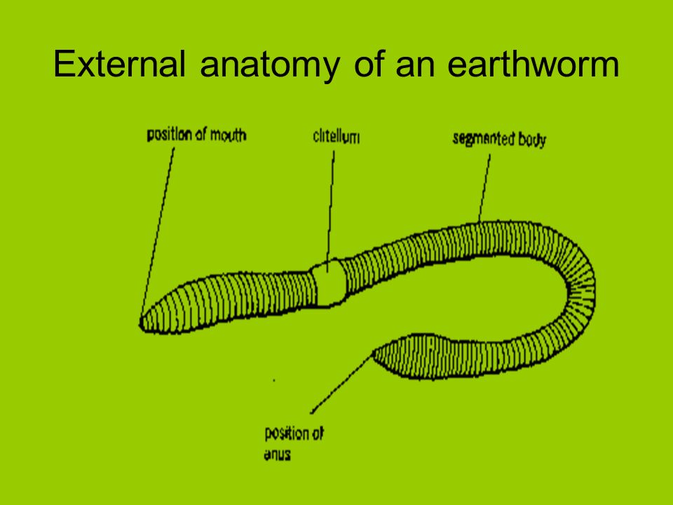 Earthworm Vocabulary for Dissection *copy these words in your folder ...
