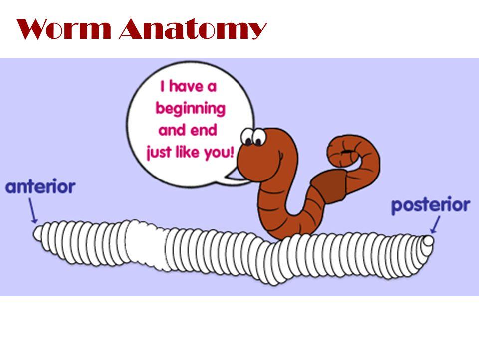 Annelidathe Earthworm Phylum Class Family Genus Species