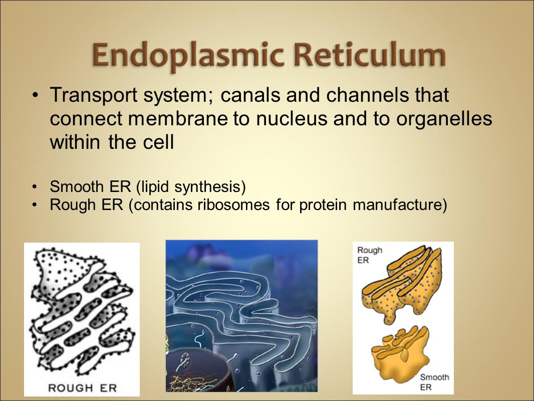 Cells Anatomy & Physiology. Cells vary in SIZE and STRUCTURE Depends ...