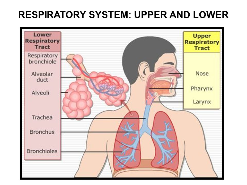 LAB 7: RESPIRATORY SYSTEM. RESPIRATORY SYSTEM: UPPER AND LOWER ...