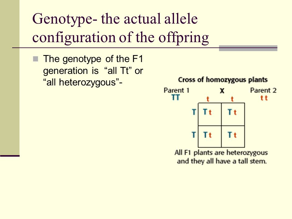 Genotype- the actual allele configuration of the offpring The genotype of the F1 generation is all Tt or all heterozygous -