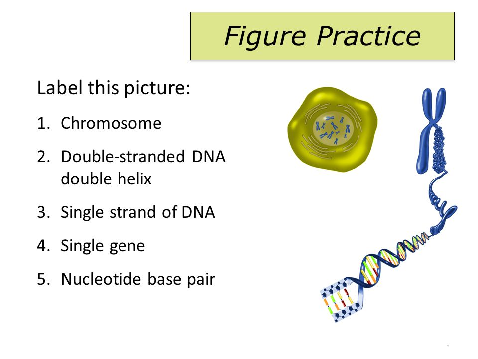 chromosome 2 double-stranded dna double helix 3 single strand of dna  4 single gene 5 nucleotide base pair figure practice