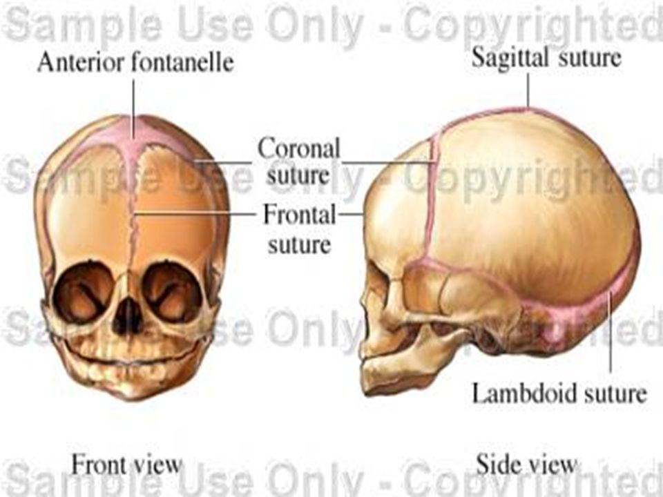 sagittal suture anatomy - 960×720