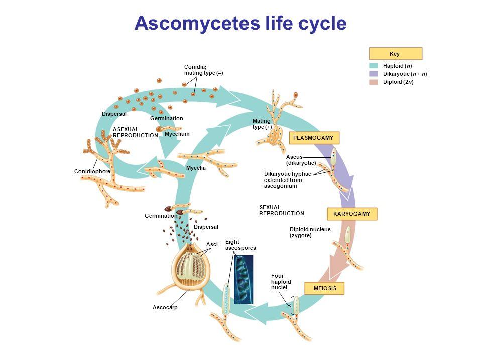 Glomeromycota asexual reproduction worksheet
