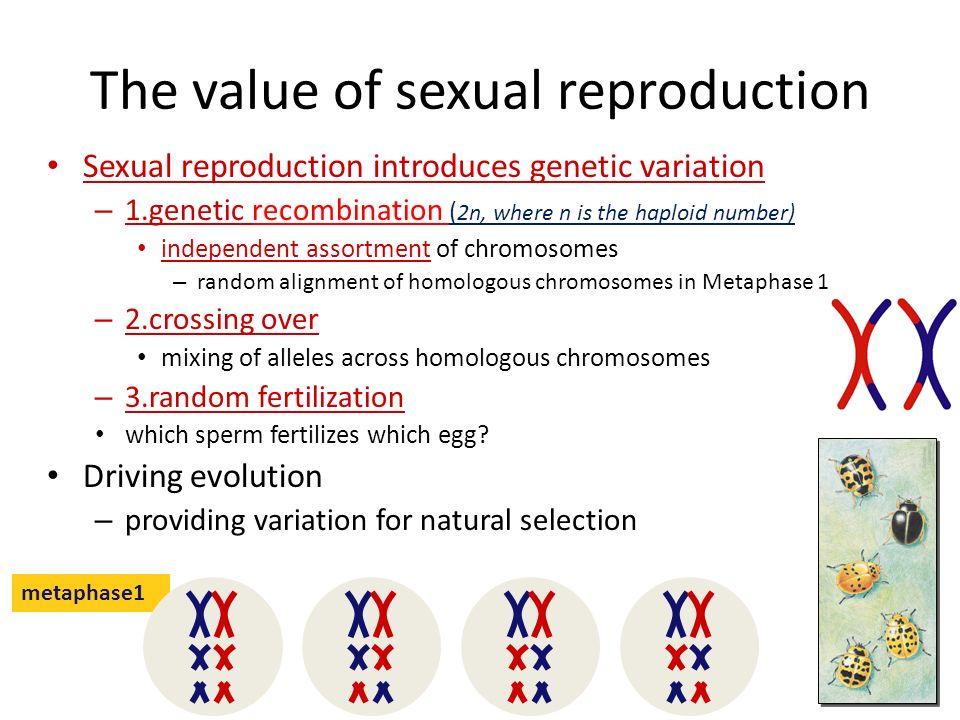 Sperm development meiosis i