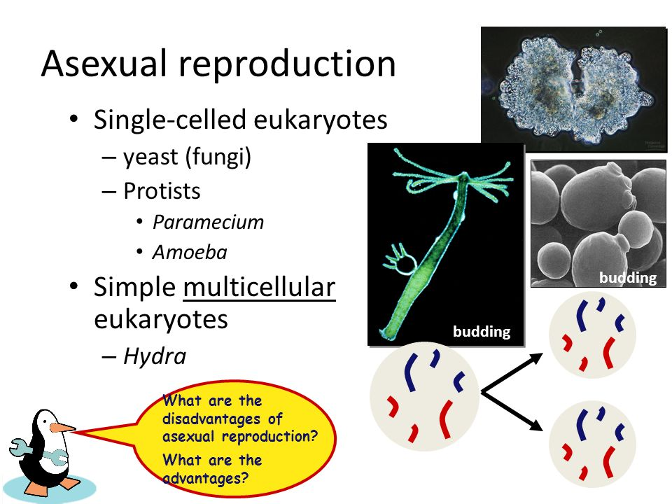 Is asexual reproduction the same as mitosis