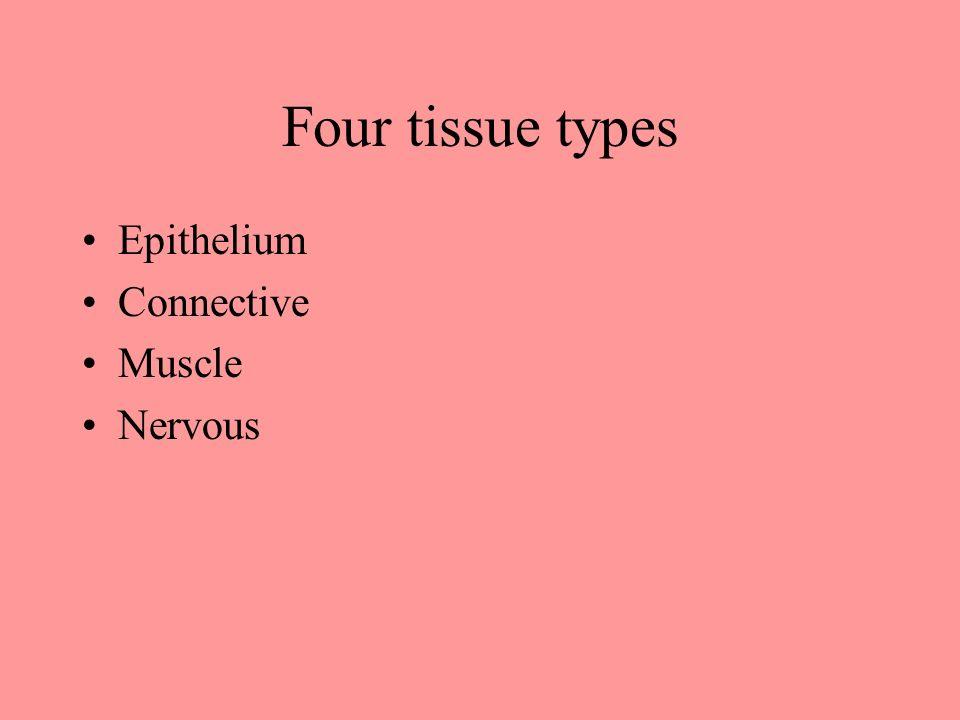 Tissues Anatomy and Physiology Four tissue types Epithelium ...
