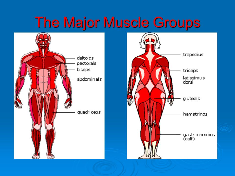 Human Biology N-16 Human Biology N-16 ANATOMY – The Muscular System ...