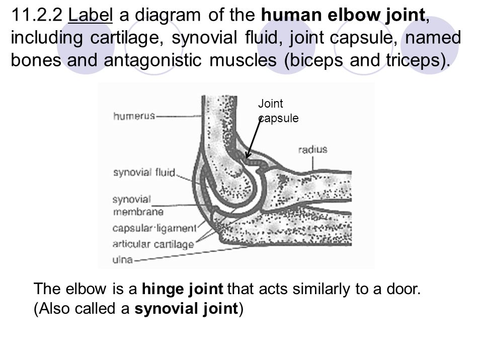 label a diagram of the human elbow joint, including cartilage, synovial  fluid, joint
