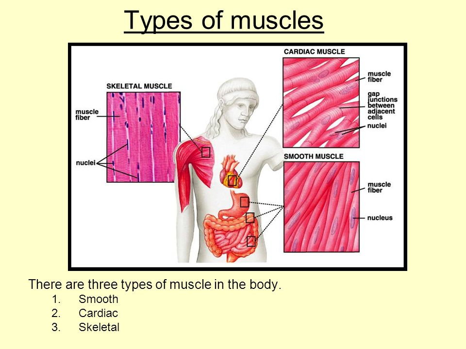 Muscles syllabus toole pages aims 1entify and describe the 3 4 types of muscles there are three types of muscle in the body 1ooth 2rdiac 3eletal ccuart Choice Image