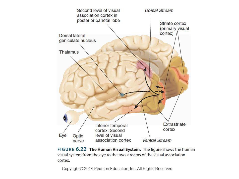 FOUNDATIONS OF BEHAVIORAL NEUROSCIENCE Copyright © 2014 Pearson ...