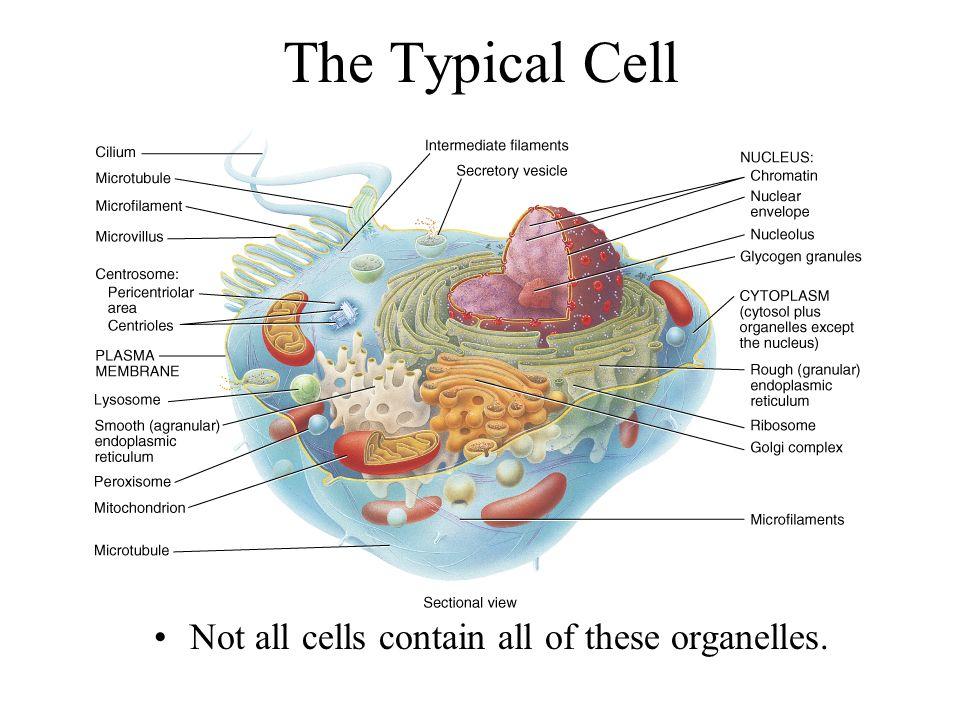 Chapter 3 The Cellular Level of Organization Basic, living ...