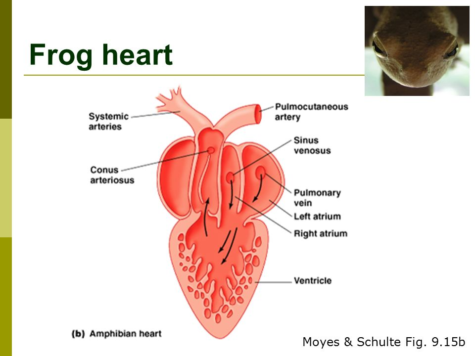 Heart frog diagram auto electrical wiring diagram luxury anatomy of frog heart picture collection anatomy and rh stockmarketresources info frog heart anatomy frog heart diagram labeled ccuart Gallery