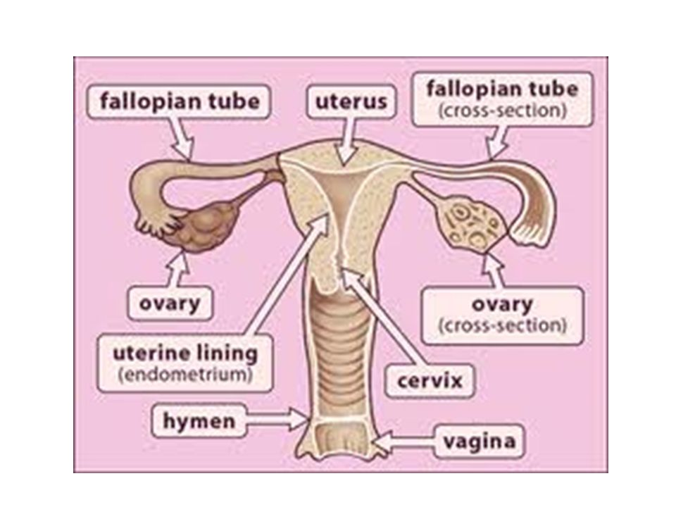 Reproductive system pathologies ppt video online download female reproductive system 3 4 congenital anomolies female ccuart Image collections