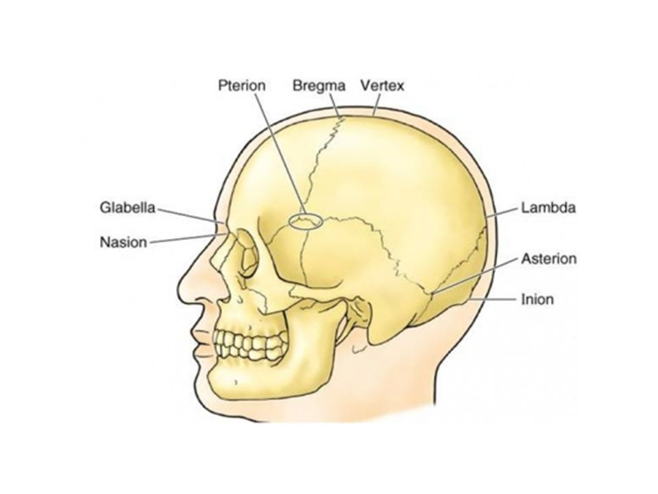 Lateral Skull Diagram Parietal Eminence - Schematics Wiring Diagrams •