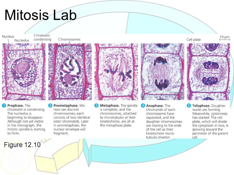 Mitosis Lab Ocular lens - 10X Objectives - 4X - 10X - 40X