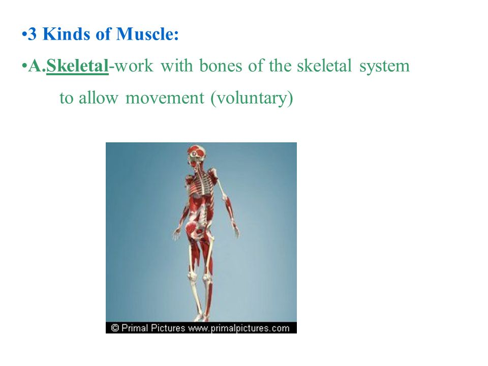 Body Systems Skeletal and Muscular PEP Curriculum. - ppt download