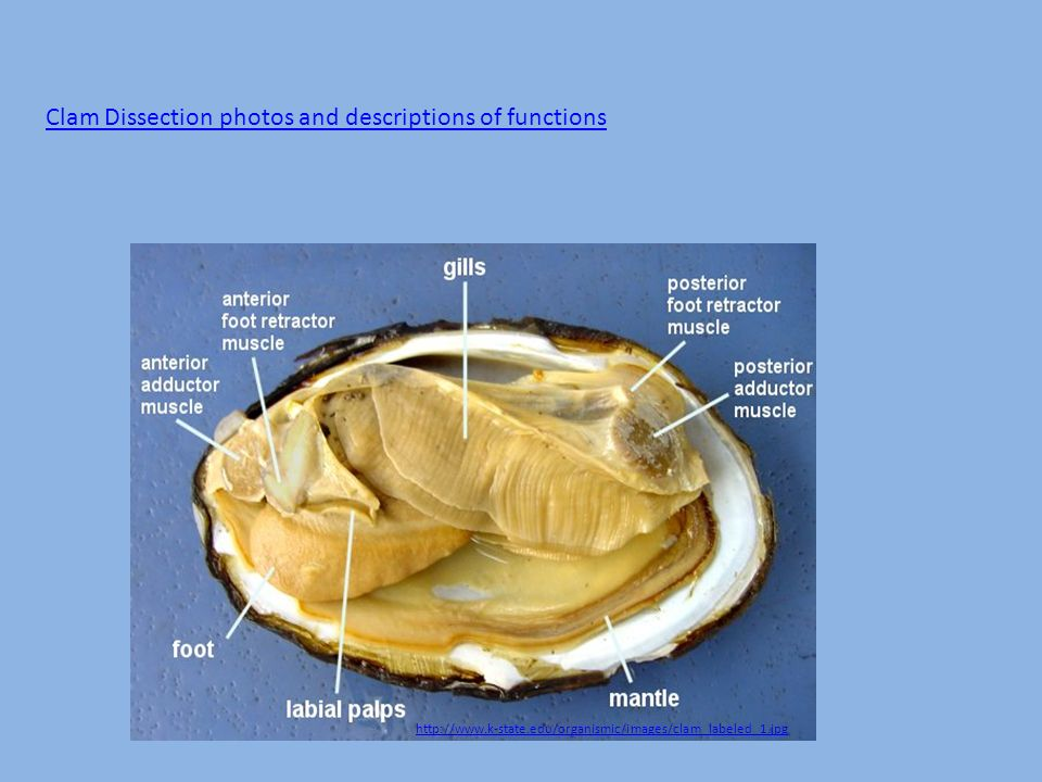 Mollusks Clam dissection & Bivalve information - ppt download