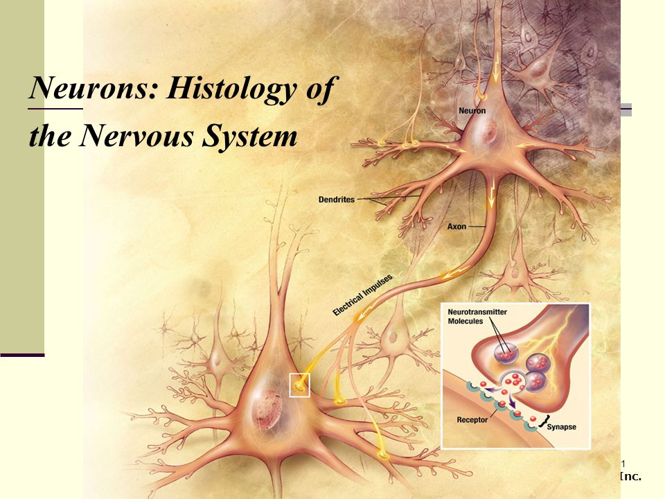 1 Copyright © 2007 Pearson Prentice Hall, Inc. Neurons: Histology of the Nervous System