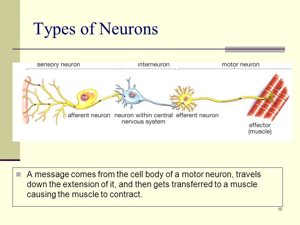 10 Types of Neurons A message comes from the cell body of a motor neuron, travels down the extension of it, and then gets transferred to a muscle causing the muscle to contract.