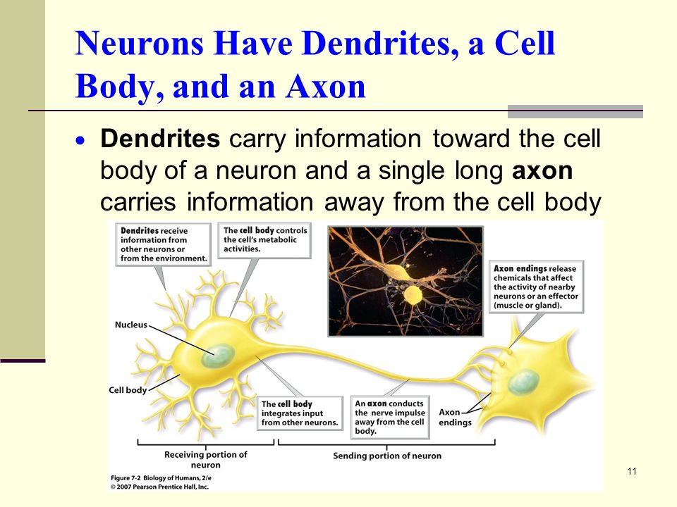 11 Neurons Have Dendrites, a Cell Body, and an Axon  Dendrites carry information toward the cell body of a neuron and a single long axon carries information away from the cell body