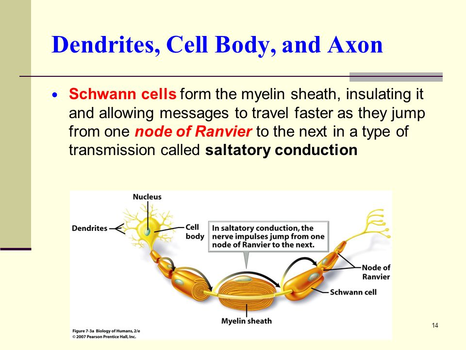 14 Dendrites, Cell Body, and Axon  Schwann cells form the myelin sheath, insulating it and allowing messages to travel faster as they jump from one node of Ranvier to the next in a type of transmission called saltatory conduction