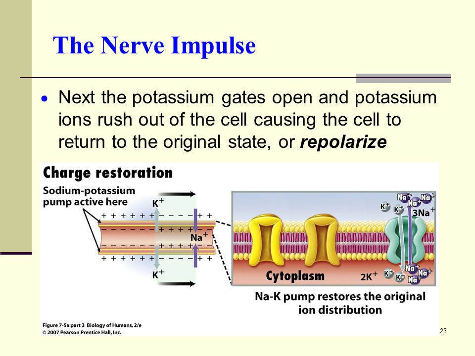 23 The Nerve Impulse  Next the potassium gates open and potassium ions rush out of the cell causing the cell to return to the original state, or repolarize