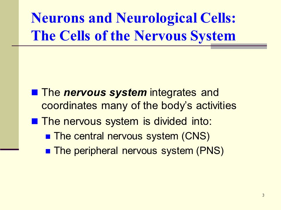3 Neurons and Neurological Cells: The Cells of the Nervous System The nervous system integrates and coordinates many of the body's activities The nervous system is divided into: The central nervous system (CNS) The peripheral nervous system (PNS)