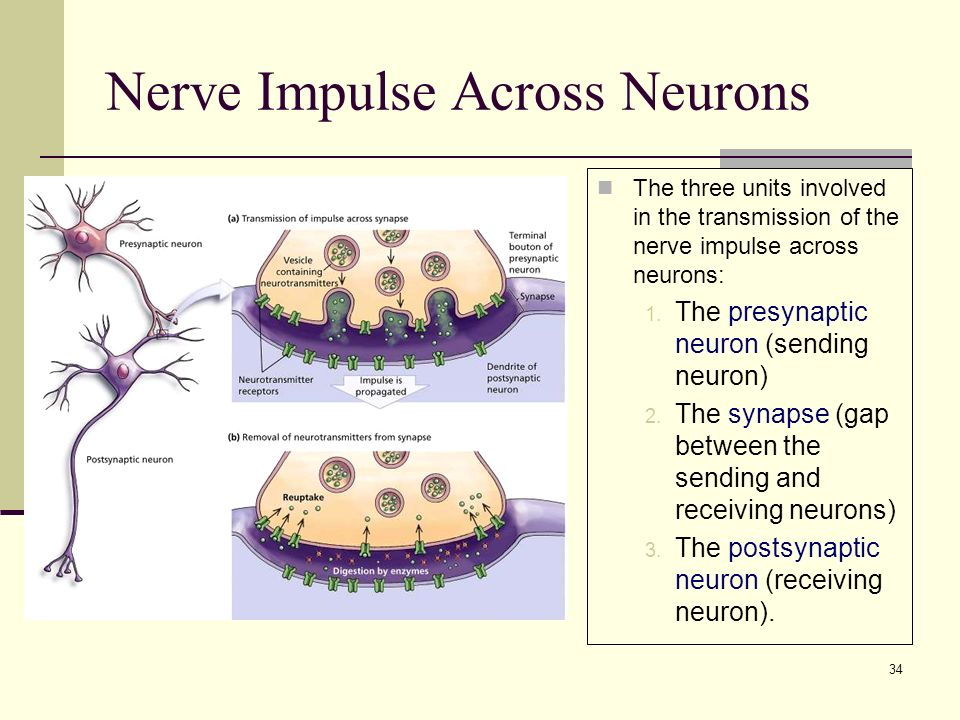 34 Nerve Impulse Across Neurons The three units involved in the transmission of the nerve impulse across neurons: 1.