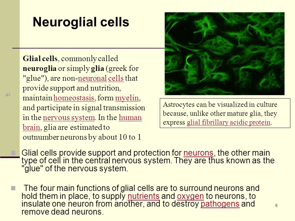 6 Glial cells provide support and protection for neurons, the other main type of cell in the central nervous system.