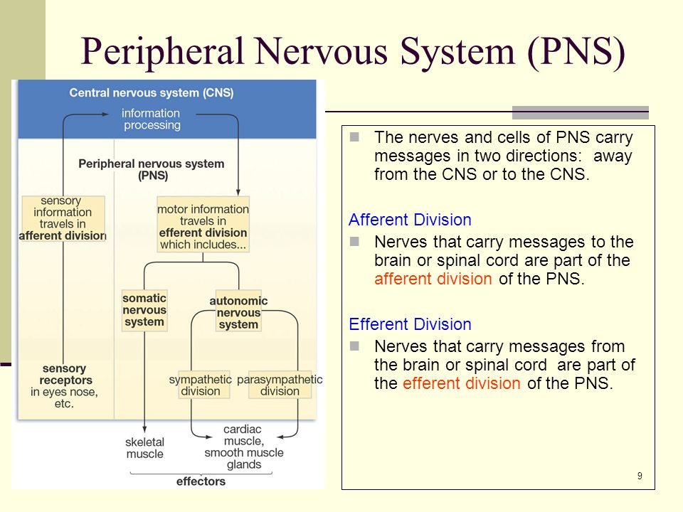 9 Peripheral Nervous System (PNS) The nerves and cells of PNS carry messages in two directions: away from the CNS or to the CNS.