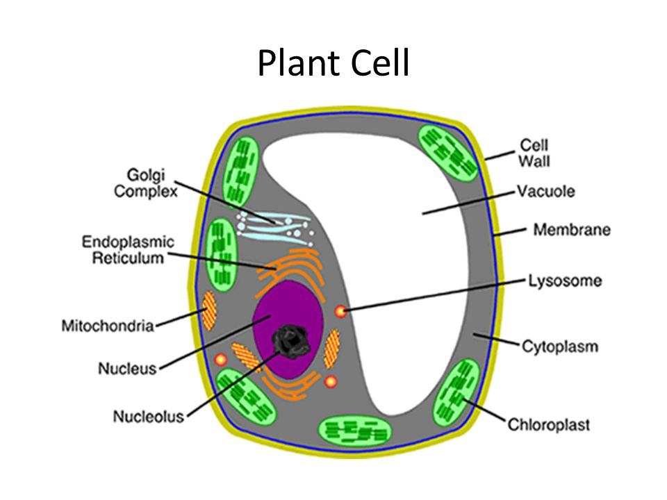 Parts of a cell and their function plant cell animal cell ppt 2 plant cell ccuart Images