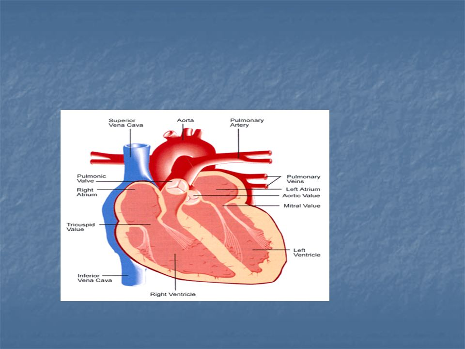 Circulation and the heart Topical outline. I-Location of the heart I ...