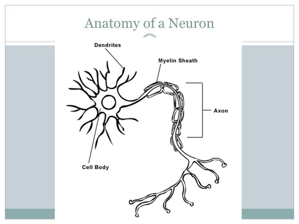 4 anatomy