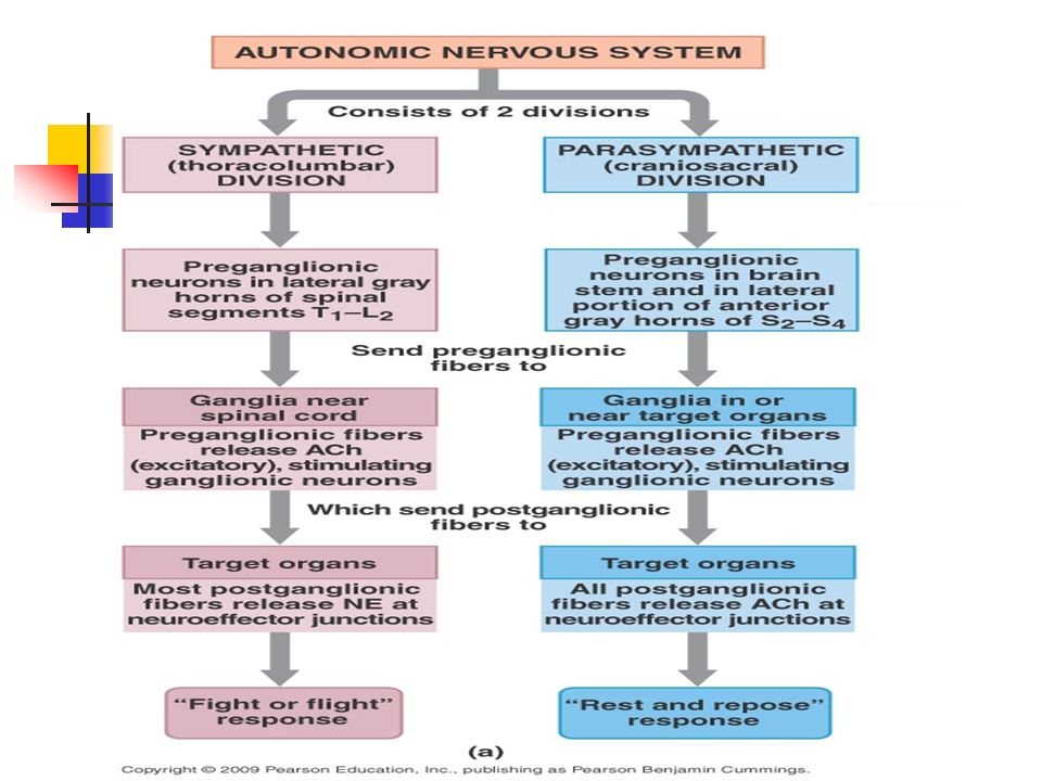 differences between autonomic and somatic