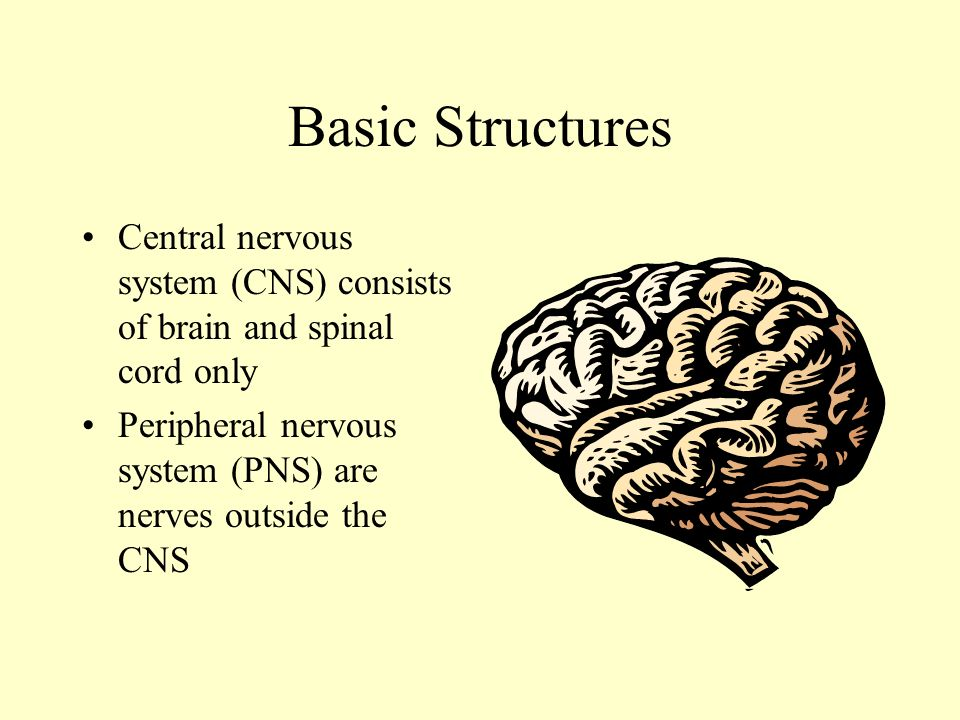 The Nervous System Anatomy and Physiology Nervous System Functions 1 ...