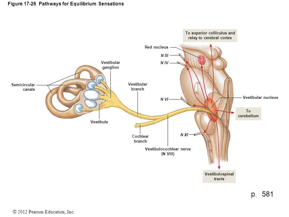 Vestibulocochlear Nerve Image collections - human anatomy organs diagram