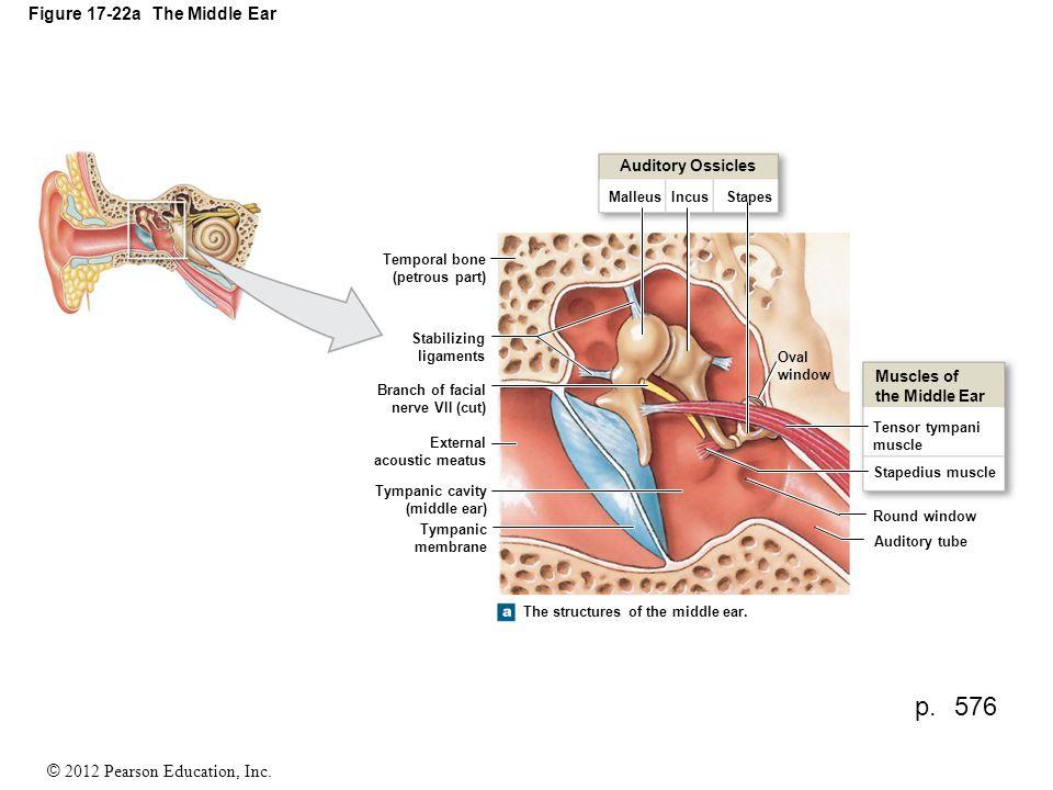2012 Pearson Education, Inc. Figure The Anatomy of the Ear External ...