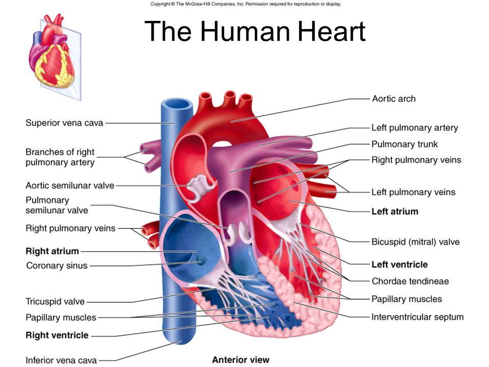 Laboratory Ten The Circulatory System Anatomy Sheep Heart