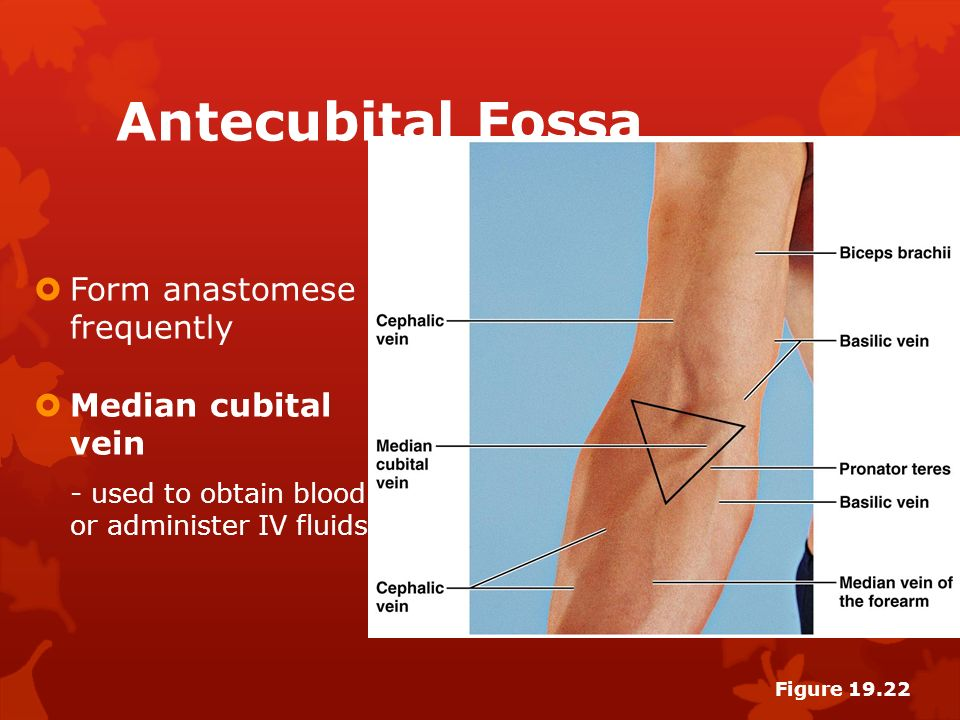 Perfect Antecubital Vein Ornament - Anatomy And Physiology Biology ...